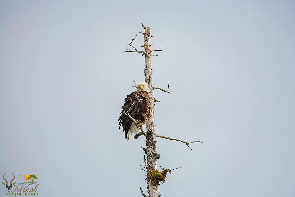 Bald Eagle in dead tree