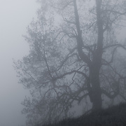 """""""Gnarled within Clouds"""" mono<br /> <br /> A wonderful gnarled old tree in heavy fog on a mountainside in Shenandoah National Park.<br /> <br /> All About Fog by Rachel Cohen"""