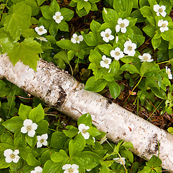 Blooming Bunchberry, Cornus canadensis, grows around a downed paper birch tree, in Ellsworth, Maine.