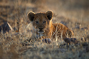 A lion cub relaxes in the late afternoon light.