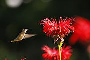 female humming bird feeding at bee baum stand