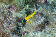 Black faced blenny-Triptérygion jaune (Tripterygion delaisi) of mediterranean sea.