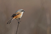 Long-tailed shrike (Lanius schach) from Pench National Park, Madhya Pradesh, India.