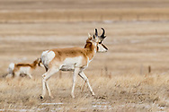 Pronghorns in South Dakota on Wednesday, Feb. 7, 2018.