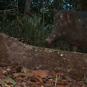 The wild boar (Sus scrofa), also known as the wild swine or Eurasian wild pig is a suid native to much of Eurasia, North Africa and the Greater Sunda Islands.