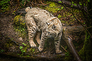 The bobcat - Lynx rufus is a North American mammal of the cat family Felidae, appearing during the Irvingtonian stage of around 1.8 million years ago. With 12 recognized subspecies, it ranges from southern Canada to northern Mexico, including most of the continental United States.