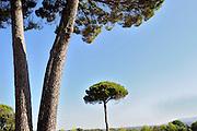 EN.- Stone pines (Pinus pinea). View of trunks and treetops. Ronda, Malaga, Andalucia, Spain.<br /> ES.- Pino pi&ntilde;onero (Pinus pinea). troncos y copas. Ronda, M&aacute;laga, Andaluc&iacute;a, Espa&ntilde;a.