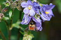 "Bee on ""Jacobs Ladder"" flower, Gabriola, British Columbia, Canada   Photo: Peter Llewellyn"