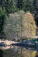 Autumn foliage in a row of trees along the edge of Katzie Marsh in the Pitt-Addington Wildlife Management Area - Pitt Meadows, British Columbia, Canada