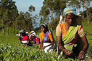 Tea plantation workers at the start of a days work. Dambetenne estate.