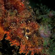 Reef Scorpionfish Scorpaenopsis cirrhosa at Lembeh Straits, Indonesia.