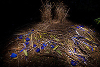 Bower of a Satin Bowerbird (Ptilonorhynchus violaceus), decorated with many blue plastic items including bottlecaps, and also blue feathers of the Crimson Rosella parrot..Lamington National Park...Lighting done by light-painting with a flashlight/torch.