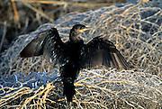 Double-Breasted Cormorant, Cormorant