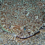 Channel Flounder inhabit sand, rubble and areas mixed with sea grasses, often in or near channels in Tropical West Atlantic; picture taken  St. Vincent.