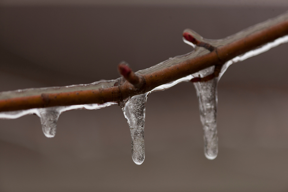 Ice storm leaves a coating of ice on Red Maple twig