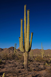 Giant Saguaro cactus (Carnegiea gigantea) with blue sky, Saguaro National Park, Tucson, Arizona, United States of America