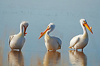 Three American White Pelicans stand somewhat like the Three Stooges in one of Utah's many marshlands.