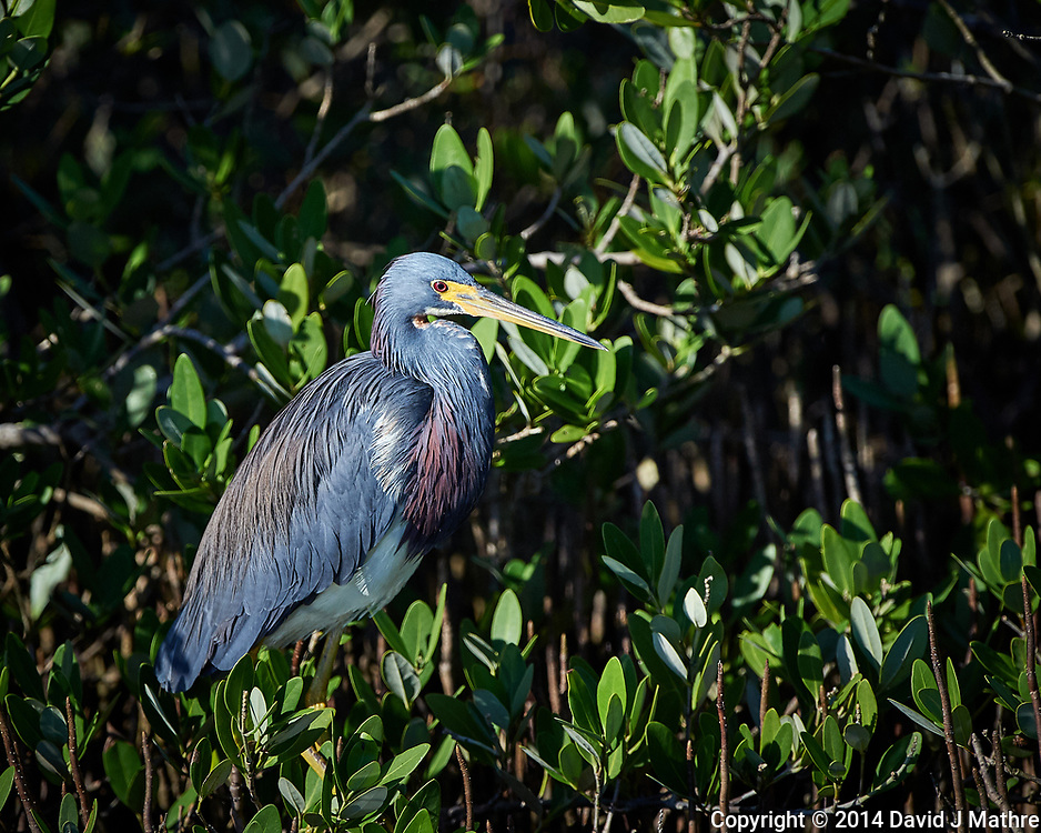 Tricolored Heron. Blackpoint Wildlife Drive, Merritt Island National Wildlife Refuge. Image taken with a Nikon D4 camera and 500 mm f/4 VR lens (ISO 720, 500 mm, f/5.6, 1/4000 sec).