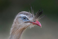 A close-up portrait of a red-legged seriema (Cariama cristata) Bonito, Mato Grosso do Sul, Brazil