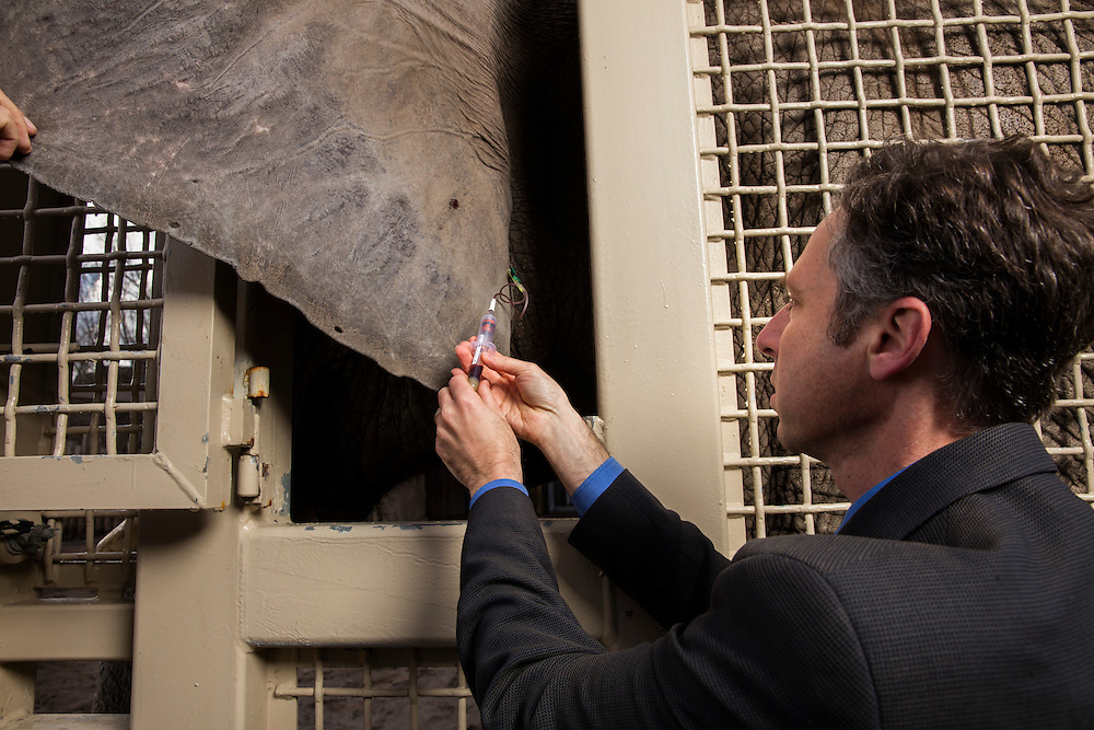 Dr. Joshua Schiffman, right takes a blood sample from the ear of one of the elephants at Hogle Zoo. Dr. Schiffman is doing cancer research on why elephant rarely get cancer. Eric Peterson is the elephant manager at Hogle Zoo in Salt Lake City,  Utah Thursday March 31, 2016. (August Miller)