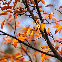 The autumn colors of the Serviceberry tree (Amelanchier x grandiflora 'Ballerina')