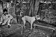 """Tiger, a dog of gull-ter and bully kutta origin, age 2, has got an high reputation, derived from his last fightings and the father's respect. Attock, NWFP, Pakistan, on saturday, August 30 2008.....According to the Islamic tradition, angels do not enter a house which contains dogs. Even if they are considered """"ritually unclean"""" by the jurists, the fighting dogs of Pakistan are tolerated by institutions and by believers alike. These mastiffs are grown and trained explicitly for these matches. Spectators in this area flock-in from nearby villages whenever a famous dog is scheduled to enter the arena. And this is more than just a show: entire families base their social esteem on the results of such bloody confrontations."""