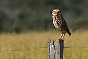 Burrowing Owl (Athene cunicularia) photographed in Mato Grosso do Sul, Brazil.