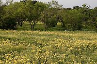 Missouri Primrose, (Oenothera macrocarpa),  Llano County, Texas