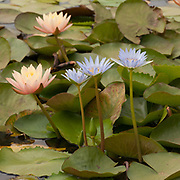 Water Lillies (Nymphaea nouc)