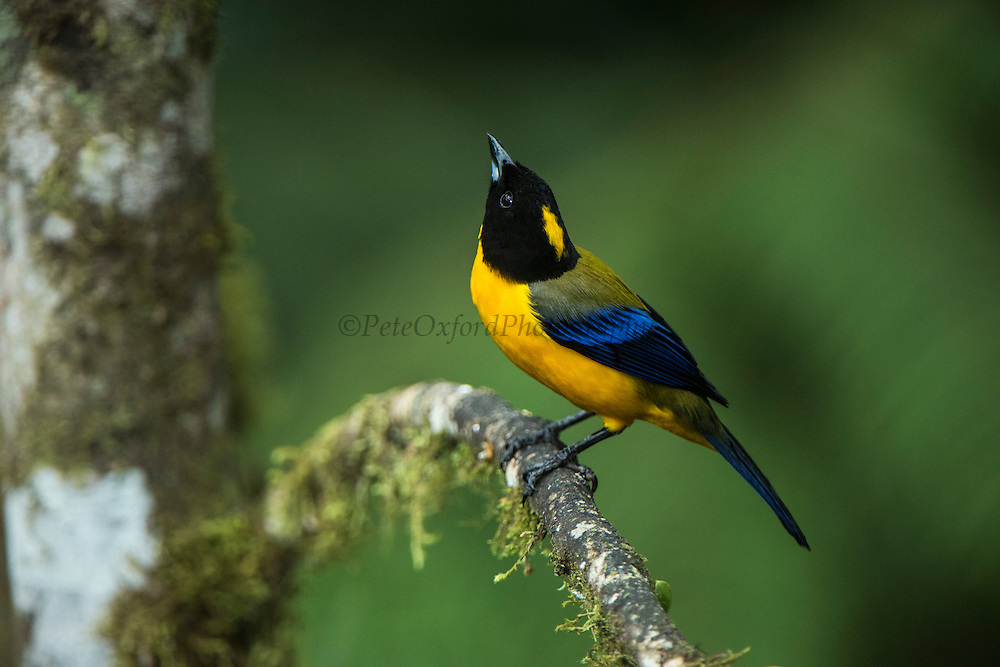 Black-chinned Mountain-tanager (Anisognathus notabilis)<br />