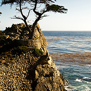 The Lone Cypress Tree at Pebble Beach on 17 Mile Drive, Pacific Grove