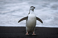Chinstrap Penguin (Pygoscelis antarcticus) at seashore