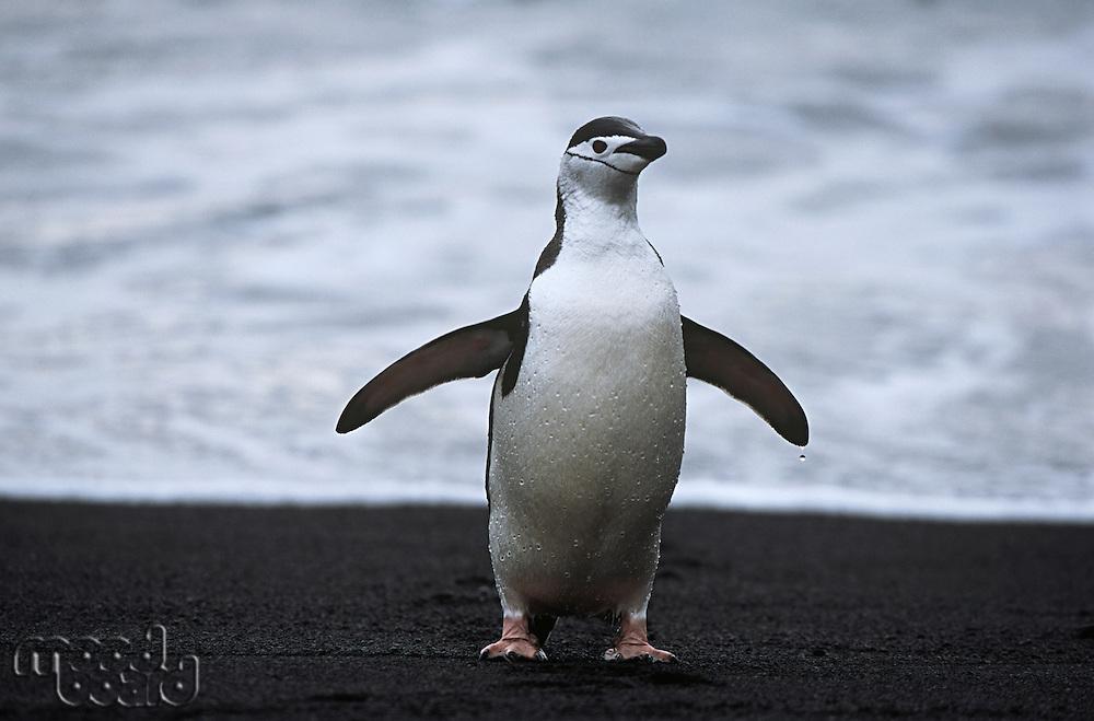Chinstrap Penguin (Pygoscelis antarcticus) at seashore