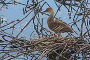 Plumed Whistling-Duck sitting on its nest at Nyleta Wetlands, Australia
