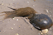 Horseshoe Crab; Limulus polyphemus; with growth of algae Delaware Bay, NJ