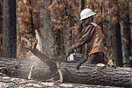 Limbing a log from a fire-killed ponderosa pine in a timber salvage operation, Cajeta Fire burn area, Jemez Mountains, NM, © 2018 David A. Ponton