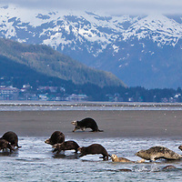 Sea Otters and Seals play on a beach just outside of Cordova, Alaska. The city is in the background on Orca Inlet in Prince William Sound.