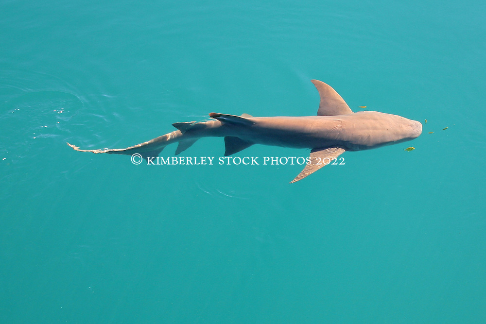 A Tawny Nurse or Sleepy Shark with pilot fish in Talbot Bay.  The sharks are common visitors to the charter boats.