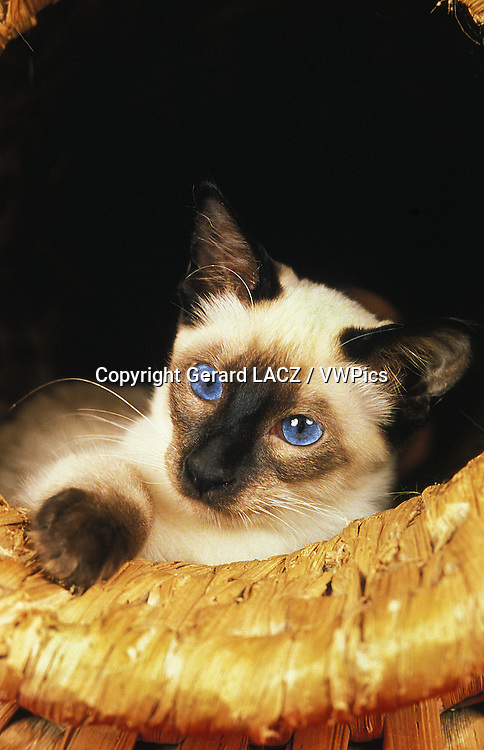 Balinese Domestic Cat, standing in Basket