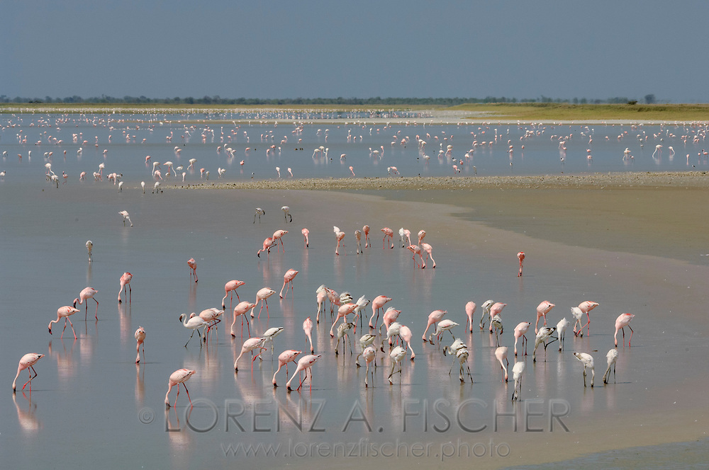 Zwergflamingo (Phoeniconaias minor) bei der Sowa Pfanne in Botswana. Flamingoes at Sowa pan in Botswana.