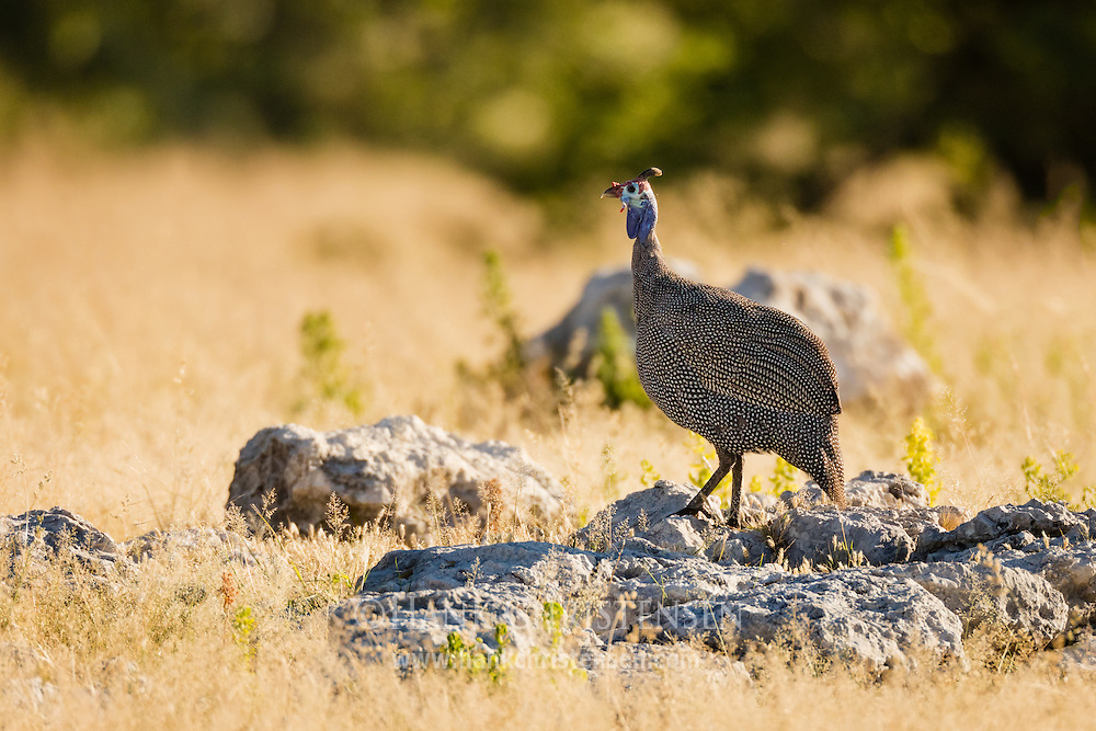 A helmeted guineafowl stands on top of a wide rock, Etosha National Park, Namibia.