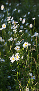 Ox-eye Daisies, Leucanthemum vulgare, in Minster Lovell in The Cotswolds, Oxfordshire, UK