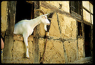 Goat hangs out window of old barn relocated to the Ecomusee folk museum; Ungersheim, Alsace. France