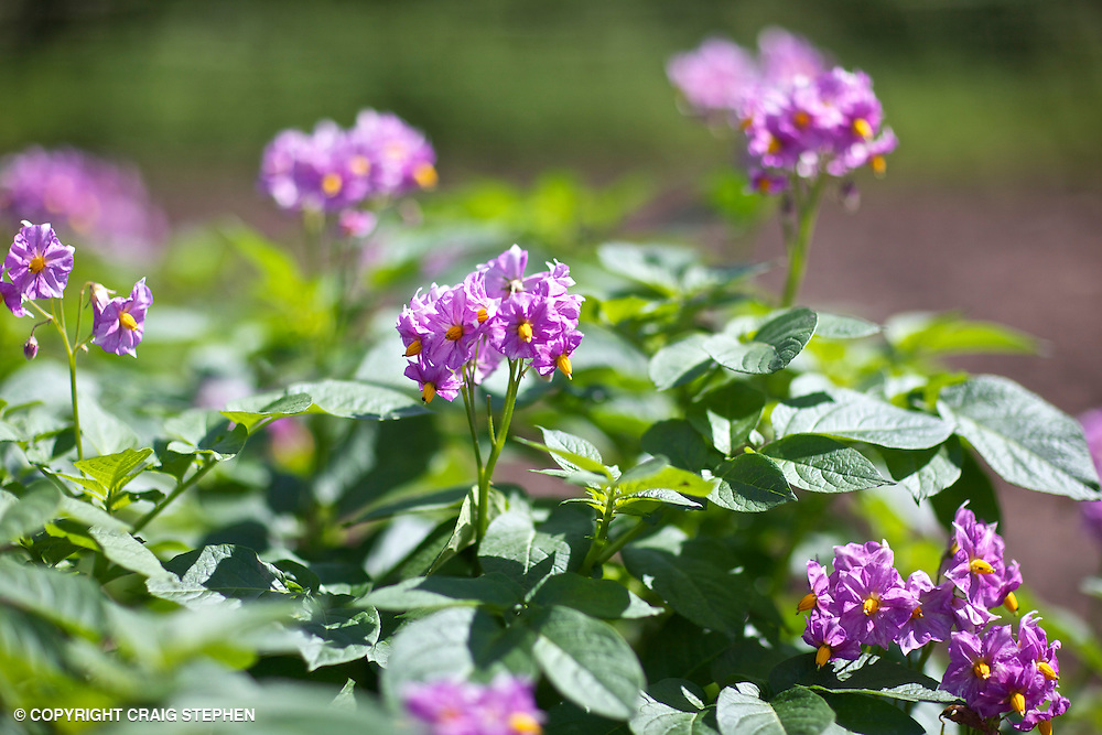 Close up on potatoes in flower in Perthshire, Scotland