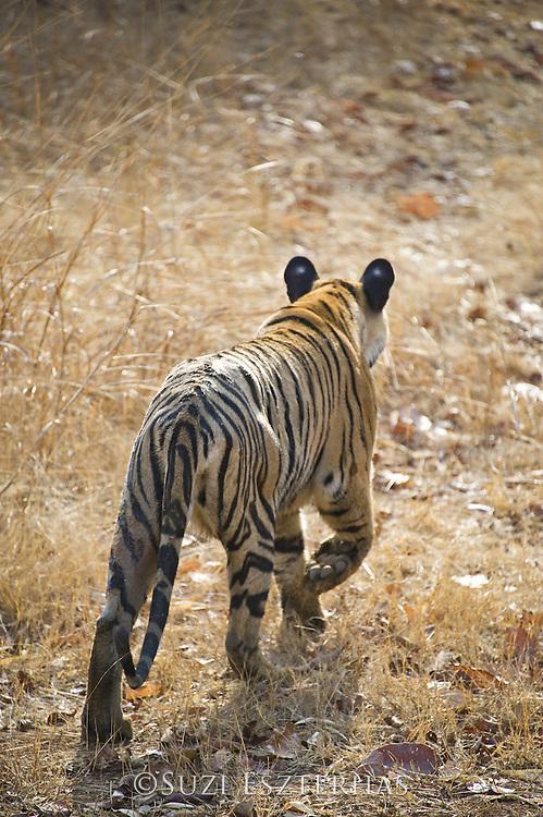 Tiger <br /> Panthera tigris<br /> Tadoba Andheri Tiger Reserve, India<br /> *Endangered species