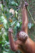 Young Bornean Orangutan biting a twig, Pongo pygmaeus morio, Orang Utan Sanctuary Sepilok, Sabah, Borneo