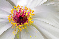 Tree Peony (Paeonia suffruticosa) with yellow pollen spilling onto the white petals.