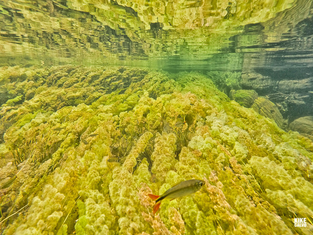 Underwater view of a fresh water ecosystem including Guarupaya fish, Astyanax integer , along with the colorful endemic freshwater plants known as macarenia clavigera .The river is commonly called the River of Five Colors or the Liquid Rainbow