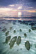 Stromatolites in Hamelin Pool, Shark Bay, Western Australia.