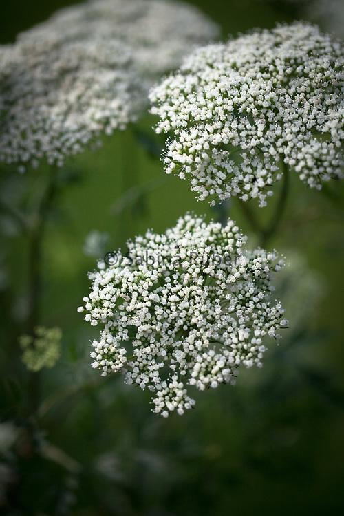 Cenolophium denudatum - Baltic parsley
